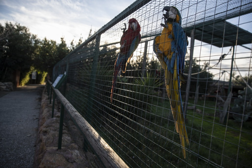 Parrots cling to an iron fence in the Attica Zoological Park in Spata, near Athens, on Thursday Jan. 21, 2021. After almost three months of closure du...