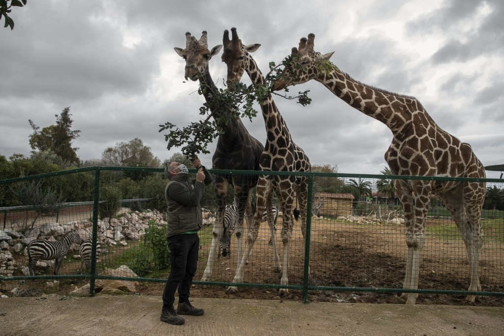 Zoo curator Adonis Balas feeds three giraffes at the Attica Zoological Park in Spata, near Athens, on Tuesday, Jan. 26, 2021. After almost three month...