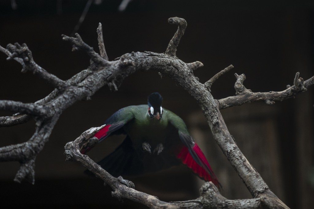 A touraco bird flies in the Attica Zoological Park in Spata, near Athens, on Saturday, Jan. 23, 2021. After almost three months of closure due to COVI...