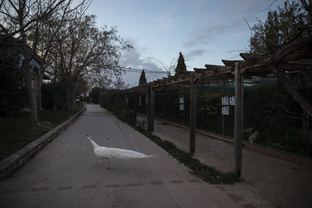 A white peacock walks across a pathway in the Attica Zoological Park in Spata, near Athens, on Thursday, Jan. 21, 2021. After almost three months of c...