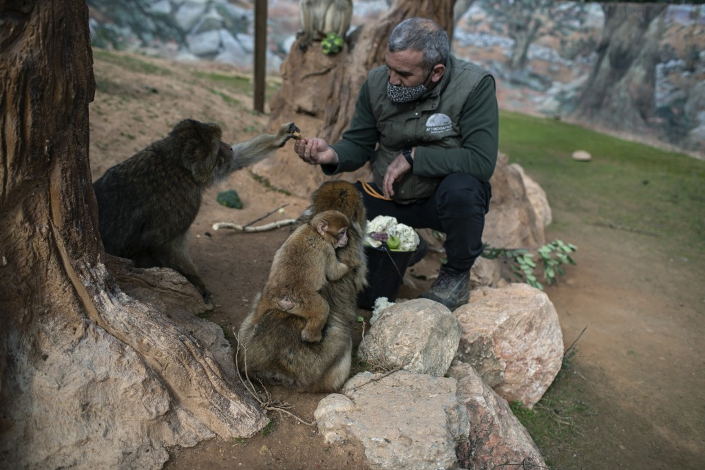 Zoo curator Adonis Balas feeds macaques at the Attica Zoological Park in Spata, near Athens, on Saturday, Jan. 23, 2021. After almost three months of ...