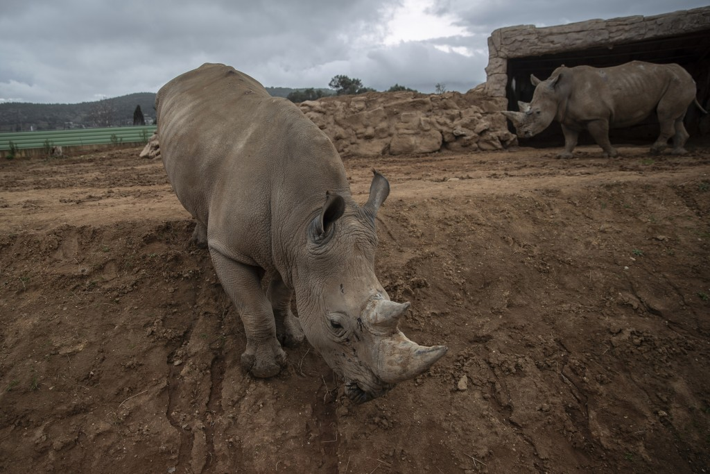 Two rhinos walk in their enclosure in the Attica Zoological Park in Spata, near Athens, on Tuesday, Jan. 26, 2021. After almost three months of closur...