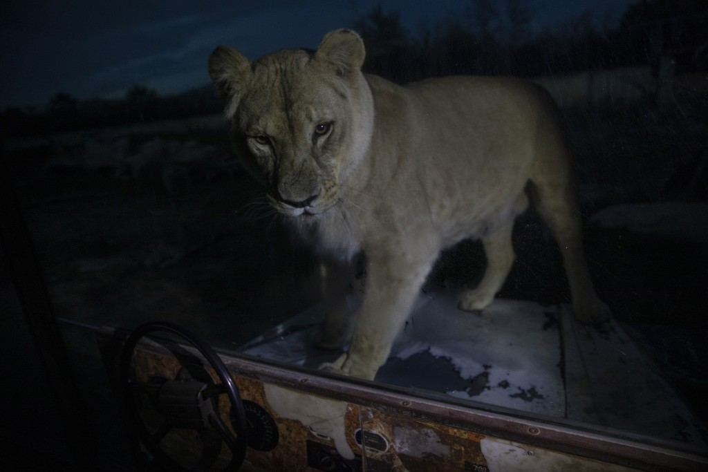 An Angola lion looks on as it stands behind a glass wall in Attica Zoological Park in Spata, near Athens, on Thursday, Jan. 21, 2021. After almost thr...