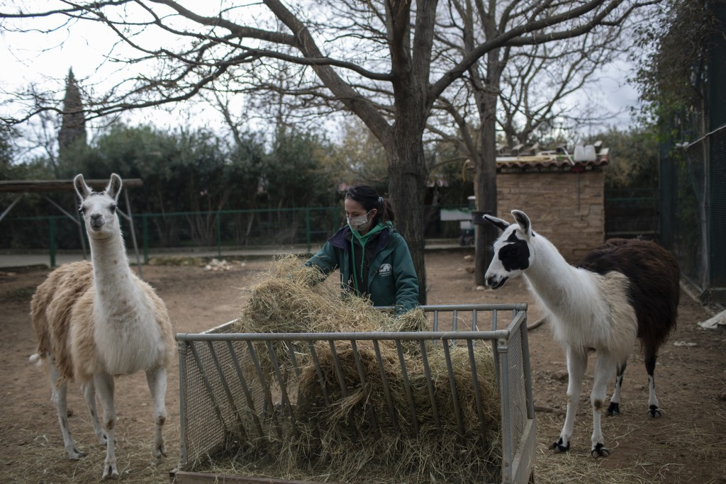 Zoo keeper Maria Malia prepares the food of two llamas in the Attica Zoological Park in Spata, near Athens, on Saturday, Jan. 23, 2021. After almost t...