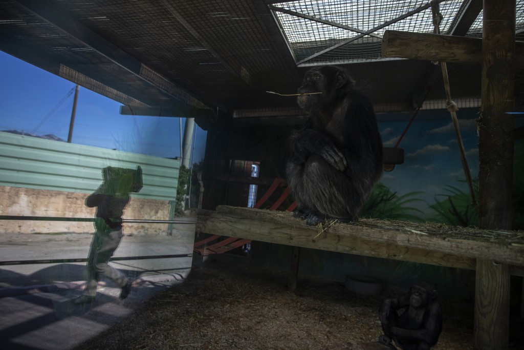 A chimpanzee looks out as a zoo keeper carries food past it's enclosure at the Attica Zoological Park, in Spata, near Athens, on Thursday, Jan. 21, 20...