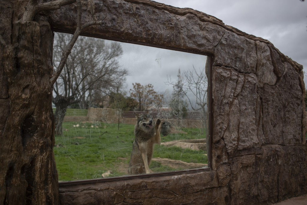 A wolf touches a glass window in it's enclosure in the Attica Zoological Park in Spata, near Athens, on Tuesday, Jan. 26, 2021. (AP Photo/Petros Giann...