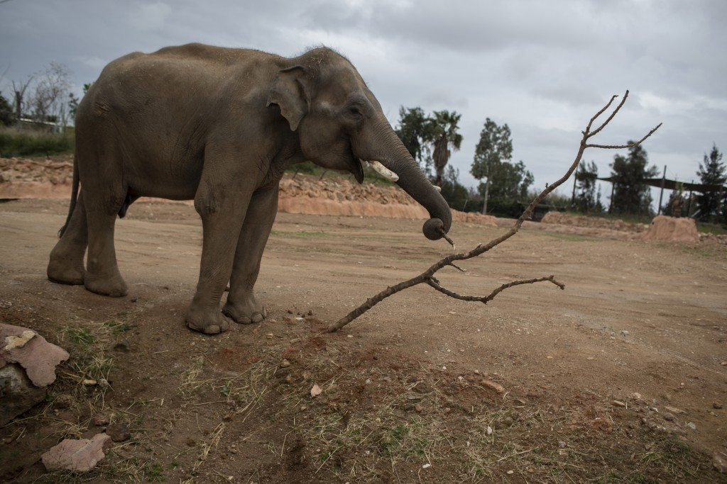 An elephant breaks off a twig with it's trunk in the Attica Zoological Park in Spata, near Athens, on Tuesday, Jan. 26, 2021. After almost three month...