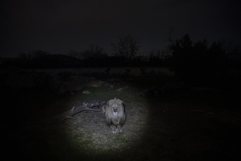 An Angolan lion looks on from it's enclosure in the Attica Zoological Park in Spata, near Athens, on Thursday, Jan. 21, 2021. After almost three month...
