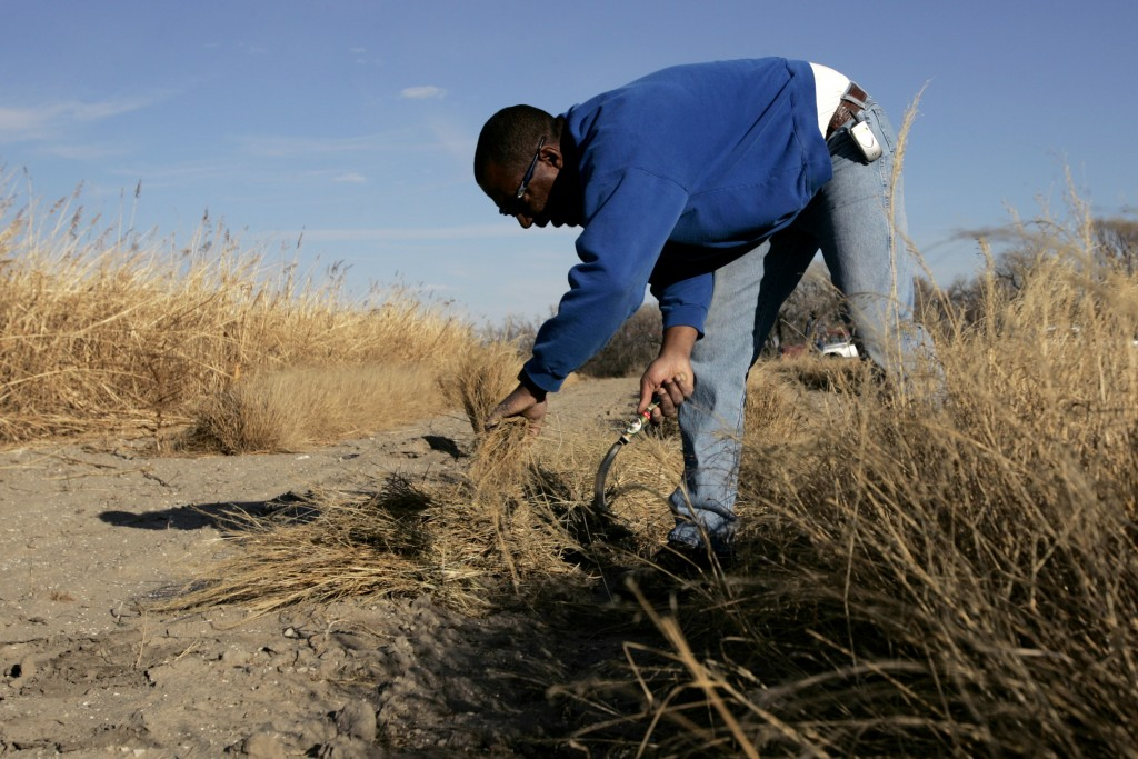 FILE - In this Nov. 17, 2005, file photo, Gil Alexander harvests the Ethiopian crop teff in a test plot near Nicodemus, Kan. Alexander was the last ac...