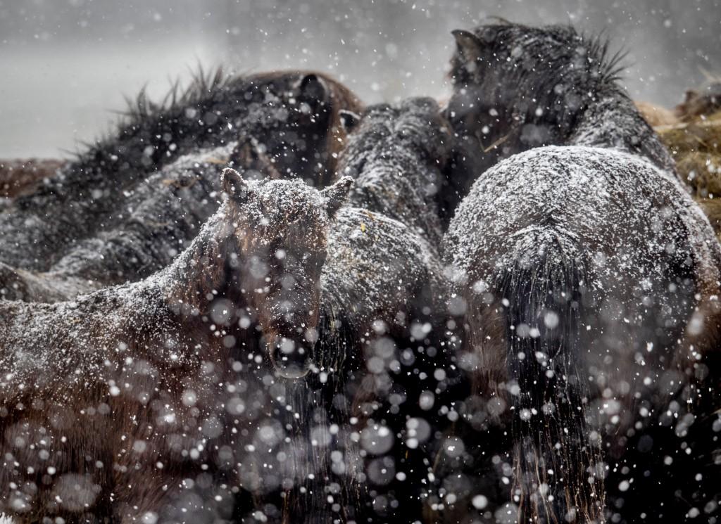 Icelandic horses brave a snow storm at a stud farm in Wehrheim near Frankfurt, Germany, Monday, Feb. 8, 2021. (AP Photo/Michael Probst)