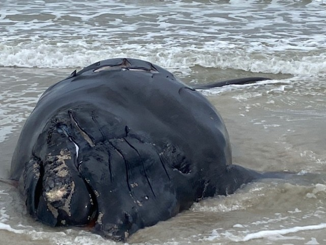 This photo provided by Anastasia State Park shows a baby whale that washed ashore at Anastasia State Park near St. Augustine, Fla., Saturday, Feb. 13,...