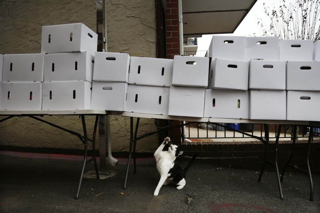 A cat reaches for a piece of string hanging from a table stacked with boxes of food at the United Sherpa Association's weekly food pantry on Friday, J...