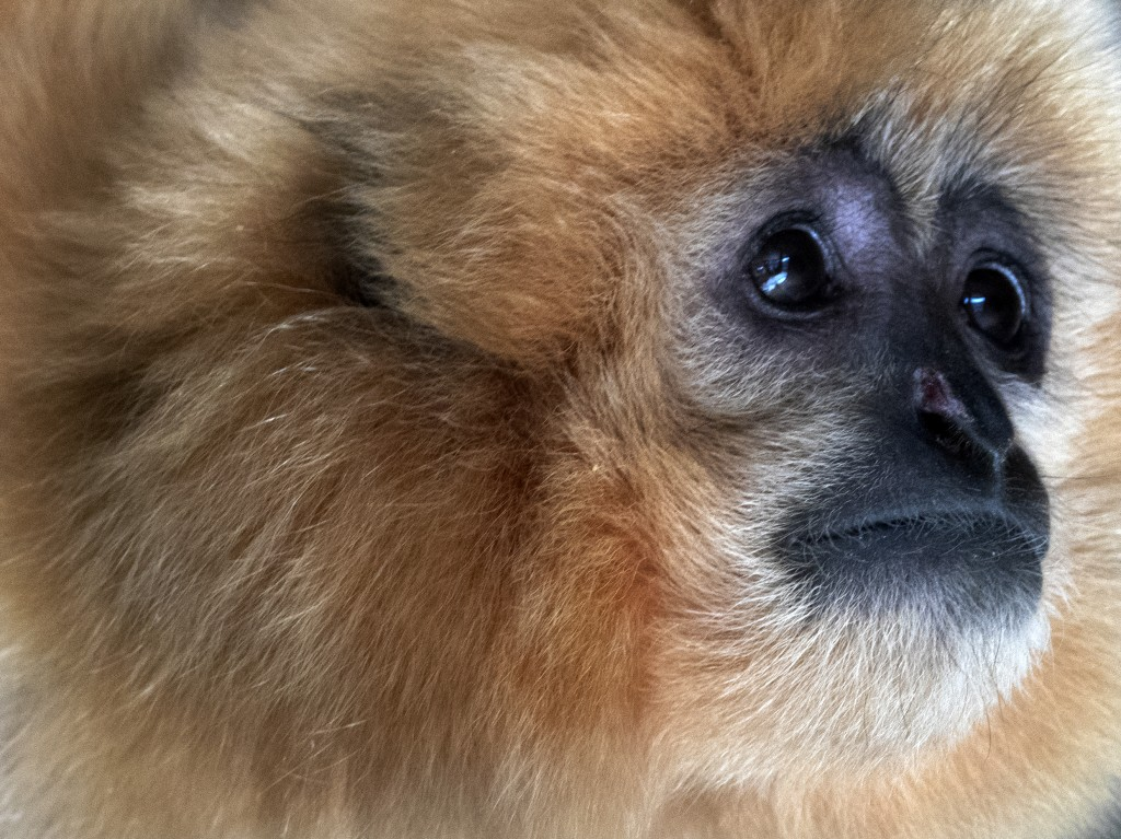 A gibbon looks on inside his enclosure at the zoo in Sarajevo, Bosnia, Monday, Feb. 15, 2021. The Sarajevo zoo welcomed Monday two new residents, a pa...