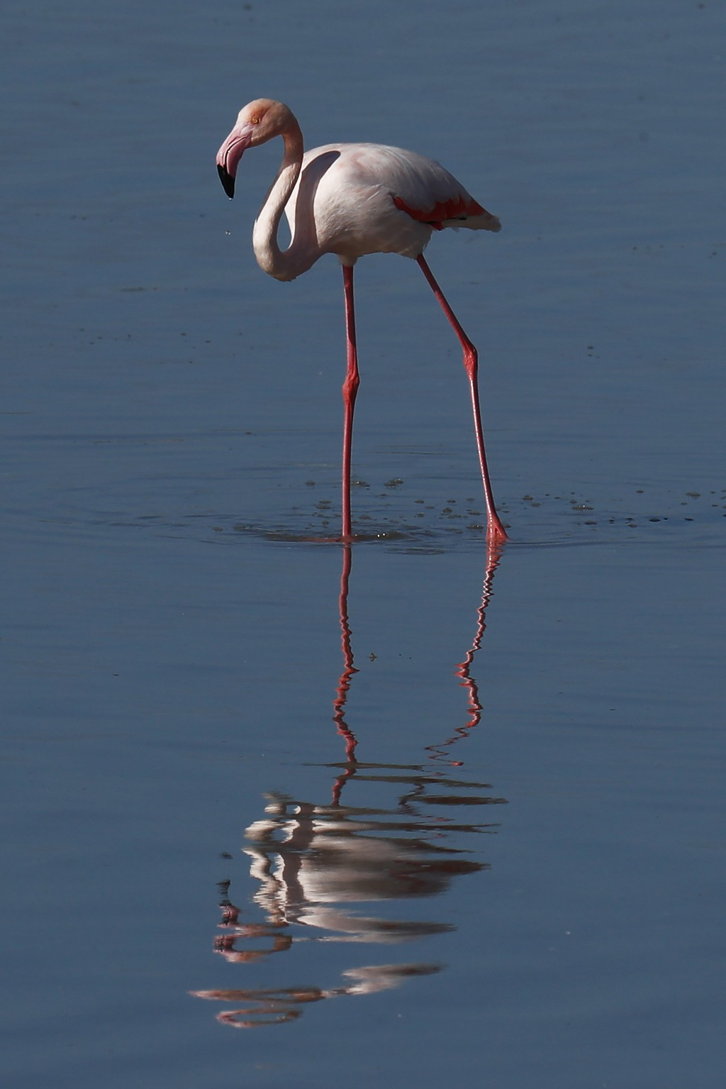 A flamingo stands in a salt lake in the southern coastal city of Larnaca, in the eastern Mediterranean island of Cyprus, Sunday, Jan. 31, 2021. Conser...