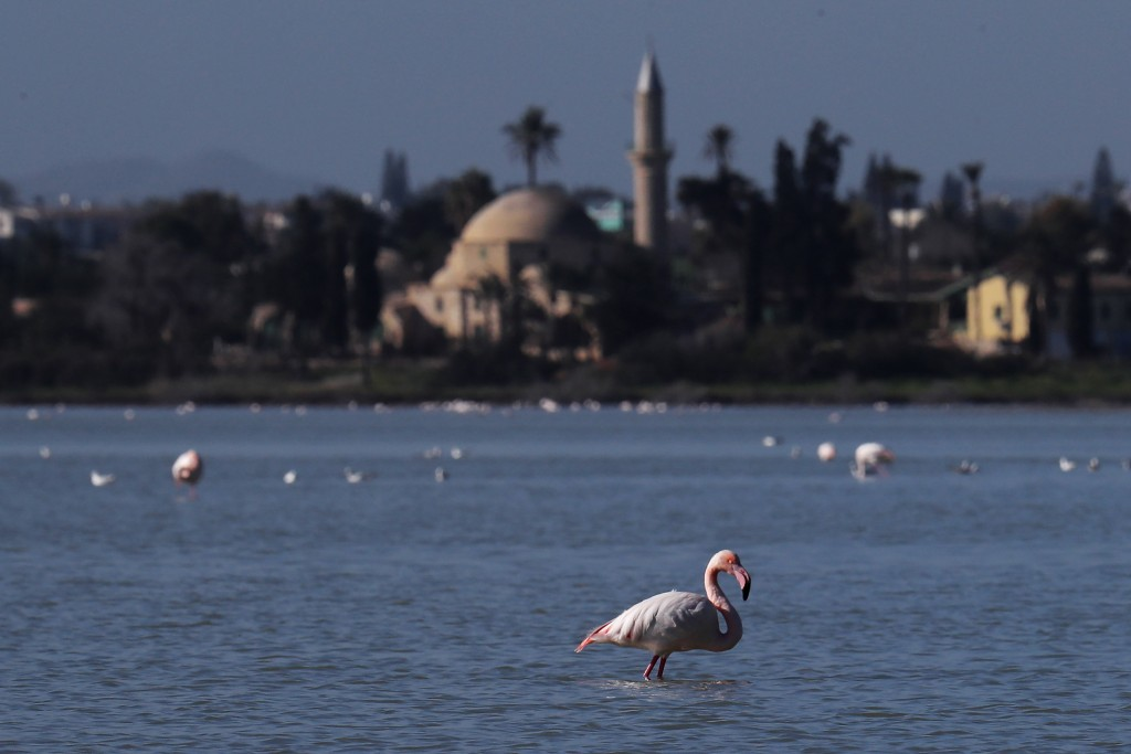A flamingo stands at a salt lake with the Hala Sultan Tekke Mosque in the background, which was built between 1760 and 1796, in the southern coastal c...