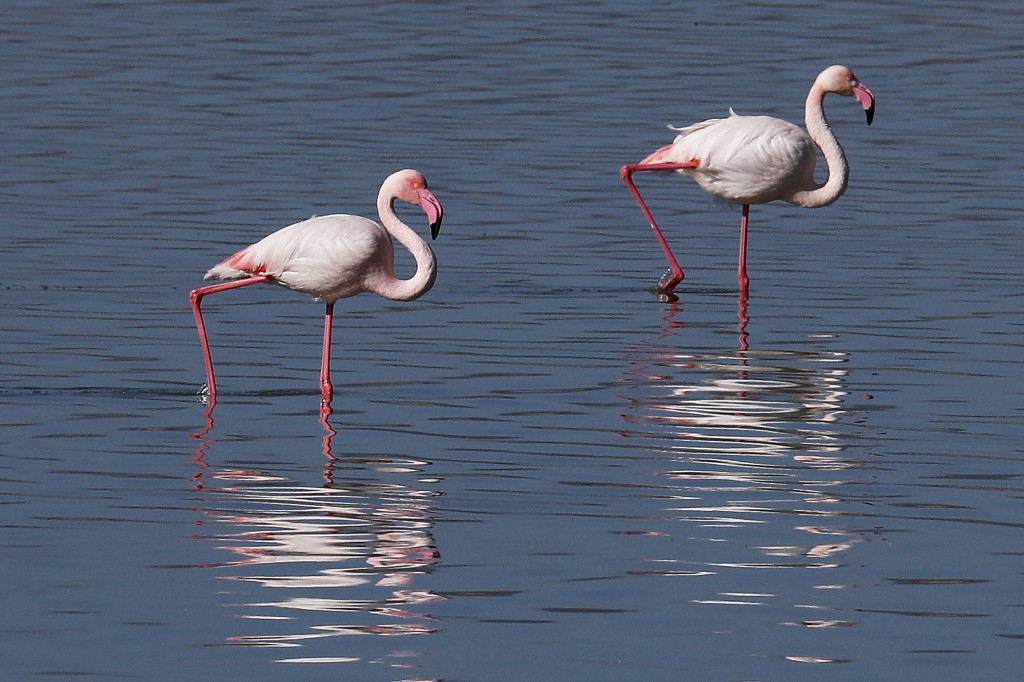 Flamingos walk at a salt lake in the southern coastal city of Larnaca, in the eastern Mediterranean island of Cyprus, Sunday, Jan. 31, 2021. Conservat...