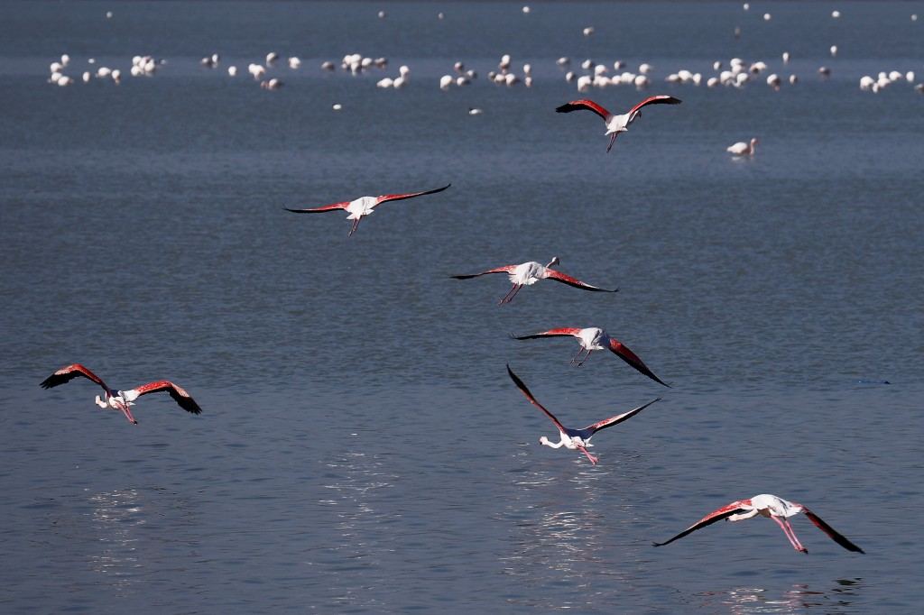 Flamingos fly over a salt lake in the southern coastal city of Larnaca, in the eastern Mediterranean island of Cyprus, Sunday, Jan. 31, 2021. Conserva...