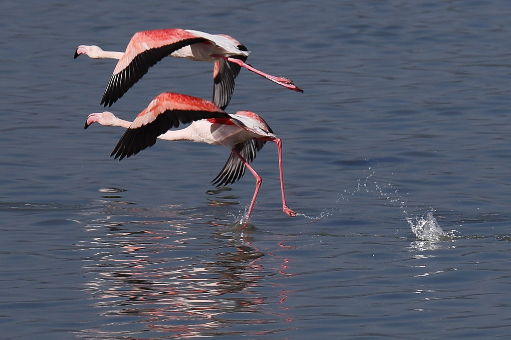 Flamingos prepare to fly on a salt lake in the southern coastal city of Larnaca, in the eastern Mediterranean island of Cyprus, Sunday, Jan. 31, 2021....