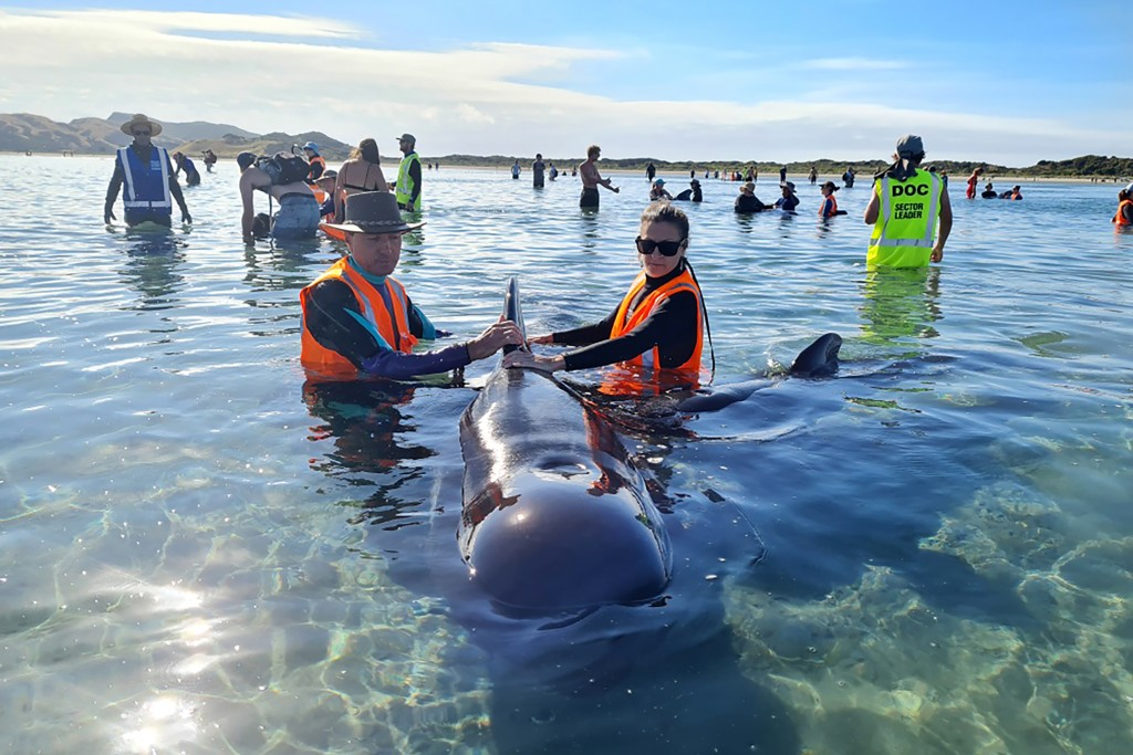 In this photo provided by Project Jonah, rescuers work to save pilot whales beached at Farewell Spit at the top of the South Island of New Zealand, Mo...
