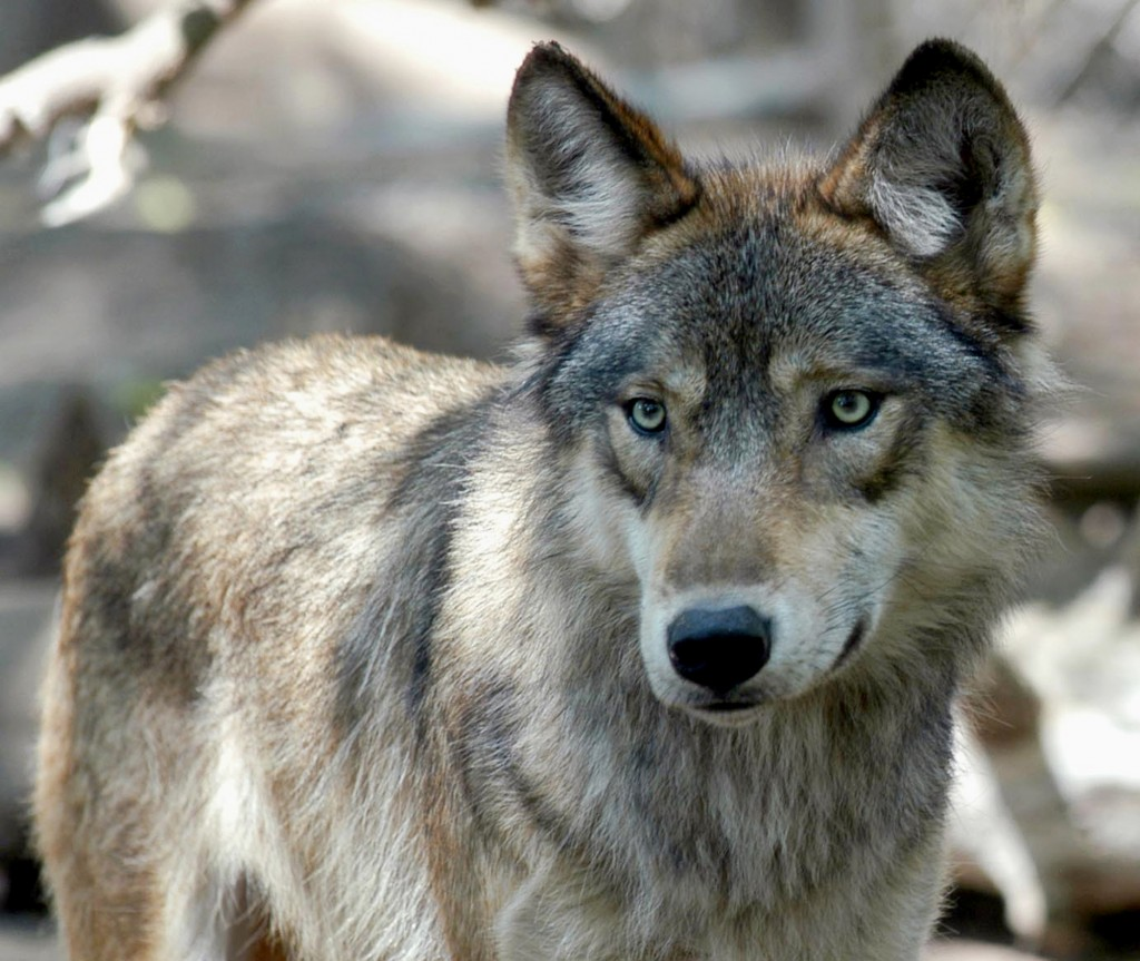 FILE - This July 16, 2004, file photo, shows a gray wolf at the Wildlife Science Center in Forest Lake, Minn. Wisconsin wildlife officials opened an a...