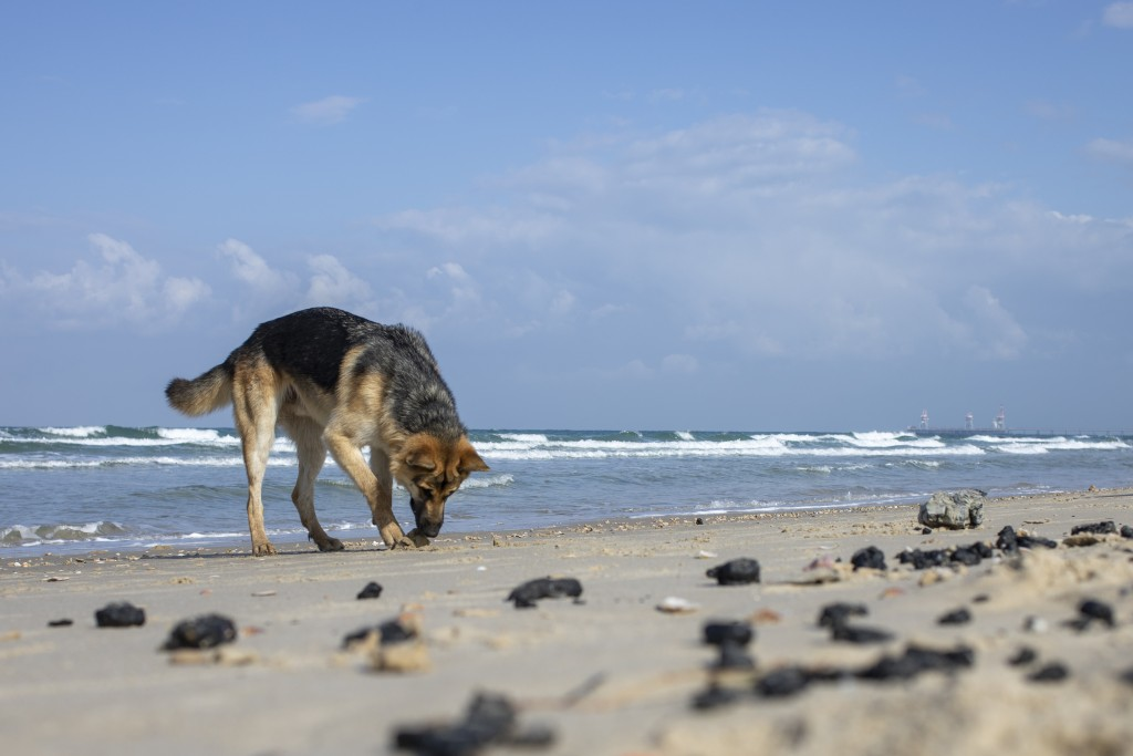 A dog smells pieces of tar from an oil spill in the Mediterranean Sea, on a beach in the Gdor Nature Reserve near Michmoret, Israel, Monday, March 1, ...