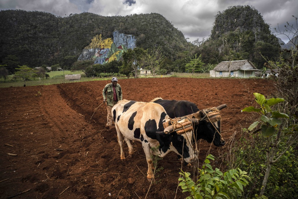 A farmer plows a field with oxen to plant yucca near the mountains in Viñales, Cuba, March 1, 2021. Both U.S. sanctions meant to punish the government...