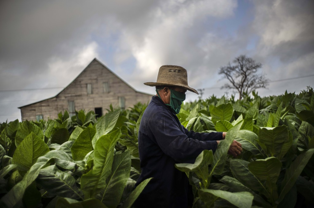 Wearing a mask amid the COVID-19 pandemic, Roberto Armas Valdes harvests tobacco leaves at the Martinez tobacco farm in the province of Pinar del Rio,...