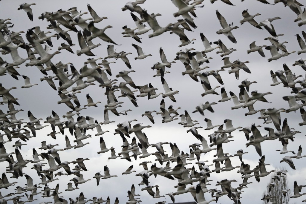 FILE - In this Dec. 13, 2019, file photo, thousands of snow geese take flight over a farm field at their winter grounds, in the Skagit Valley near Con...
