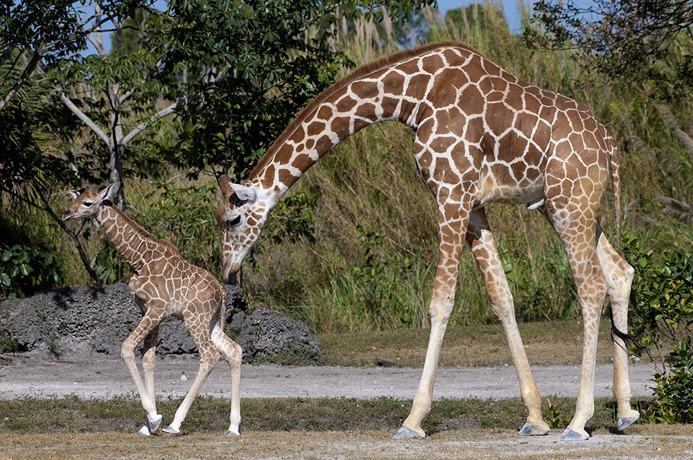In this photo provided by Zoo Miami, an unnamed male calf, born on Friday, April 2, 2021, walks with his mother at the zoo on Monday, April 5, 2021,  ...
