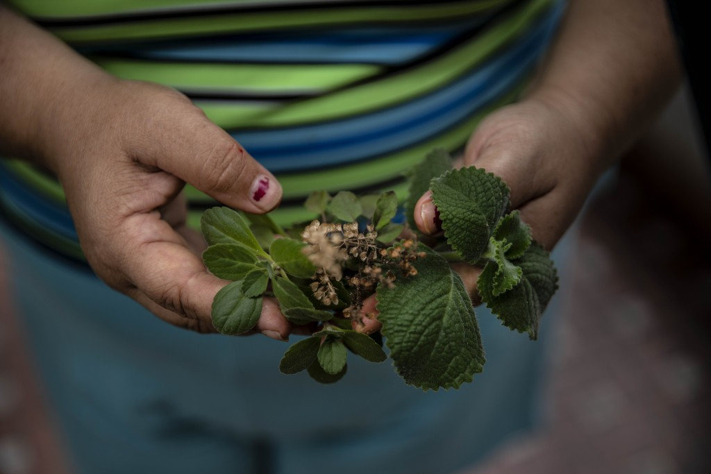Yuliet Colon holds a handful of herbs she collected from a small flowerbed that a relative grows on the side of her house, in Havana, Cuba, Friday, Ap...