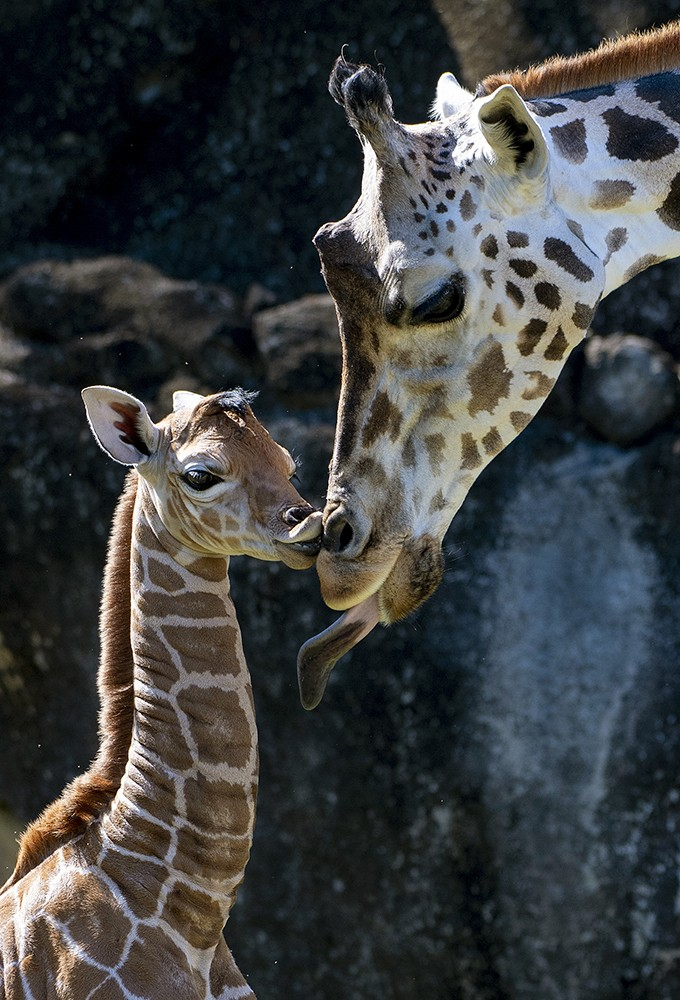 In this photo provided by Zoo Miami, an unnamed male calf, born on Friday, April 2, 2021, appears with his mother at the zoo on Monday, April 5 in Mia...