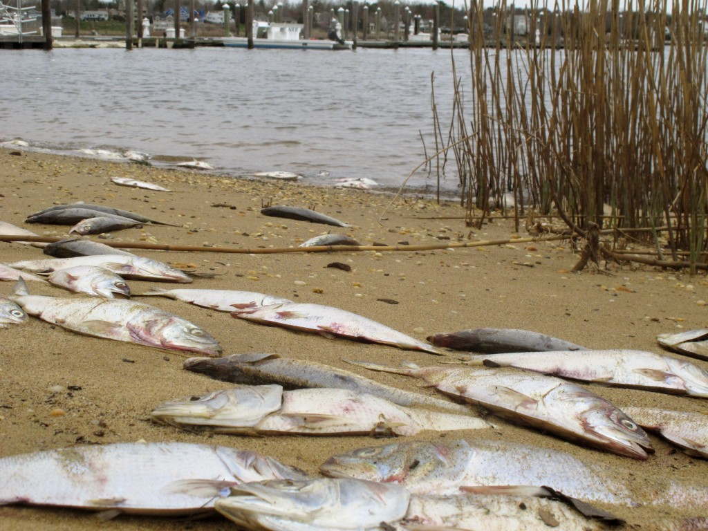 This April 2, 2021 photo shows dead menhaden fish on a bank of the Navesink River in Red Bank, N.J. New Jersey's Department of Environmental Protectio...
