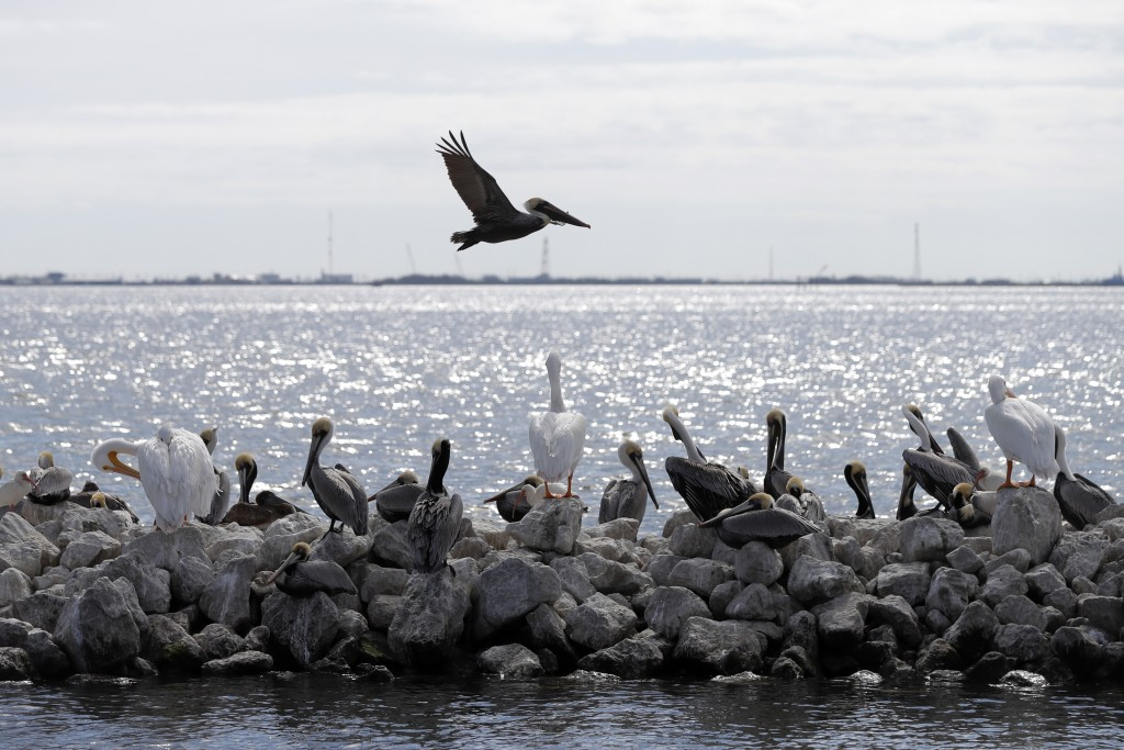 FILE - In this Feb. 3, 2020, file photo, pelicans fly over and sit on man-made rock revetment on Queen Bess Island in Barataria Bay, La. (AP Photo/Ger...