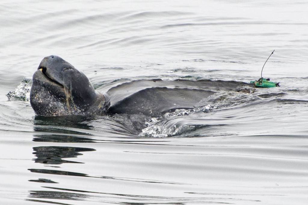 In this July 5, 2017, photo provided by Kate Cummings, is a leatherback turtle swimming in the Pacific Ocean near Moss Landing, Calif. All seven disti...