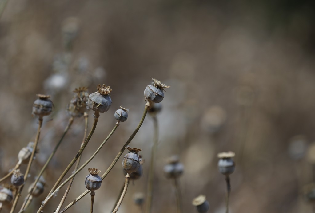 Poppy flowers are dry, months after the field was sprayed with herbicide by an army helicopter in the mountains surrounding Badiraguato, Sinaloa state...
