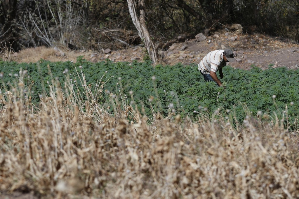 A farmer works in a marijuana field surrounded by a poppy field that was sprayed dry months ago by an army helicopter in the mountains surrounding Bad...