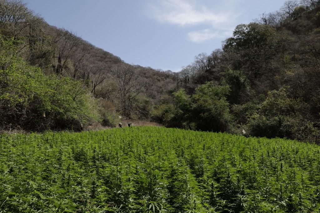 Marijuana grows in the mountains surrounding Badiraguato, Sinaloa state, Mexico, Tuesday, April 6, 2021. Mexico's legislation to legalize marijuana is...