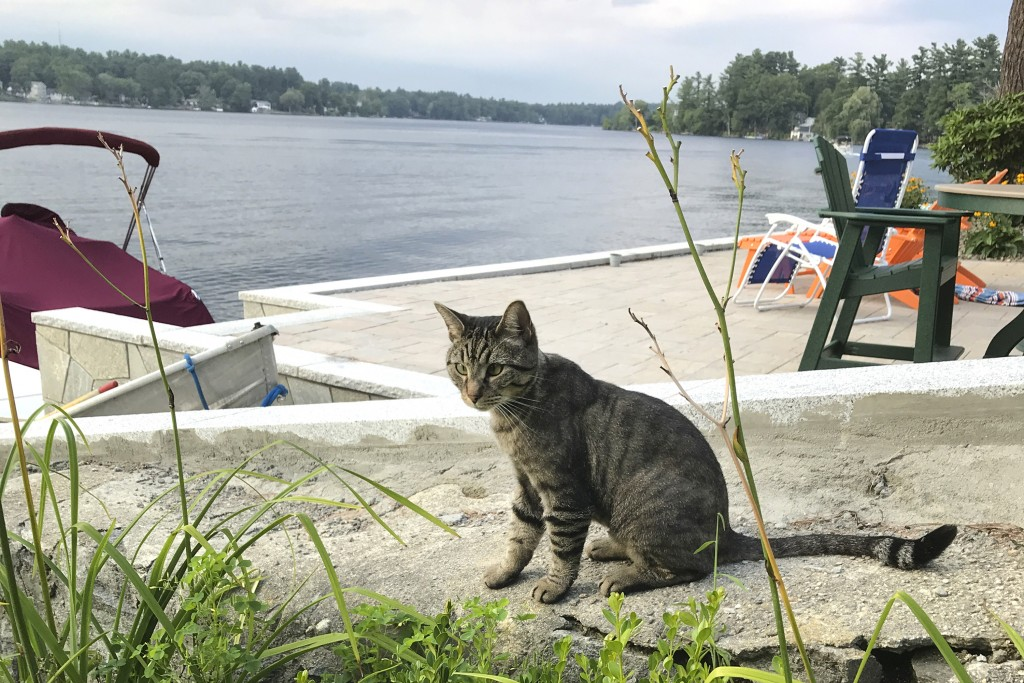 In this July 27, 2018 photo provided by Daryl Abbas, Arrow, a cat whose death has inspired legislation to put cats on equal footing with dogs, at leas...