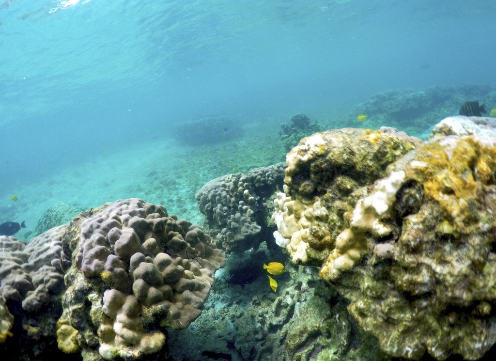 FILE - This Sept. 12, 2019, file photo shows bleaching coral in Kahala'u Bay in Kailua-Kona, Hawaii. Recent flooding in Hawaii caused widespread and o...