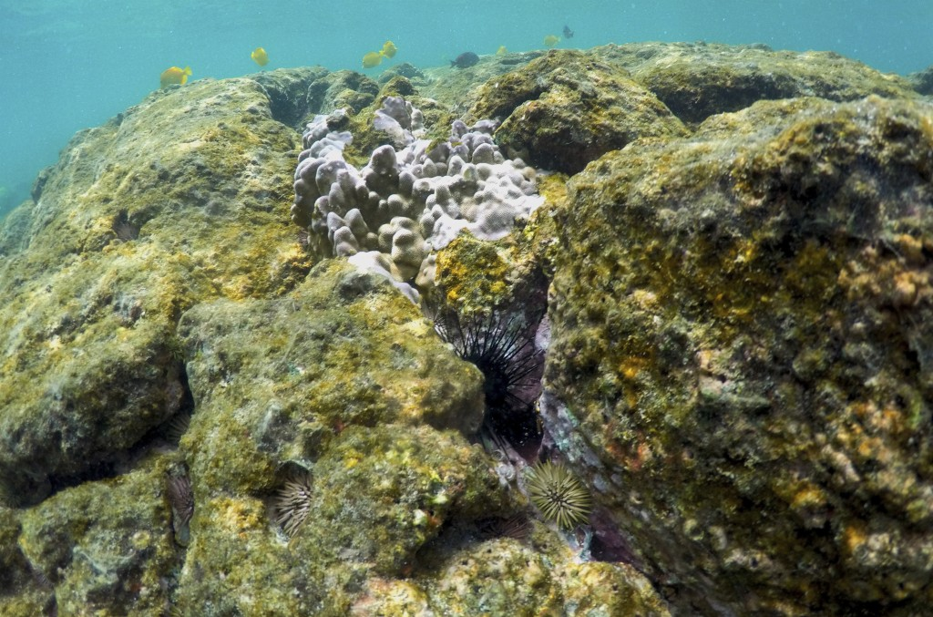 FILE - In this Sept. 12, 2019, file photo, sea urchins and fish are seen on a coral reef in Kahala'u Bay in Kailua-Kona, Hawaii. Flooding in March 202...