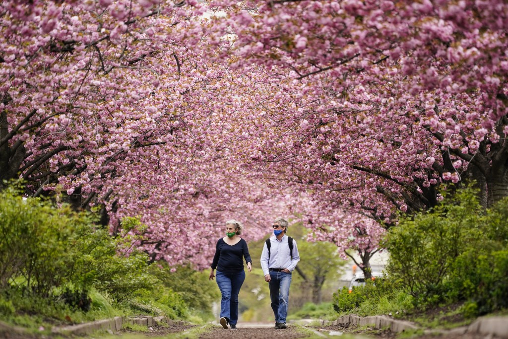 People wearing face masks as a precaution against COVID-19 walk beneath blossoming cherry trees along Columbus Boulevard in Philadelphia, Wednesday, A...