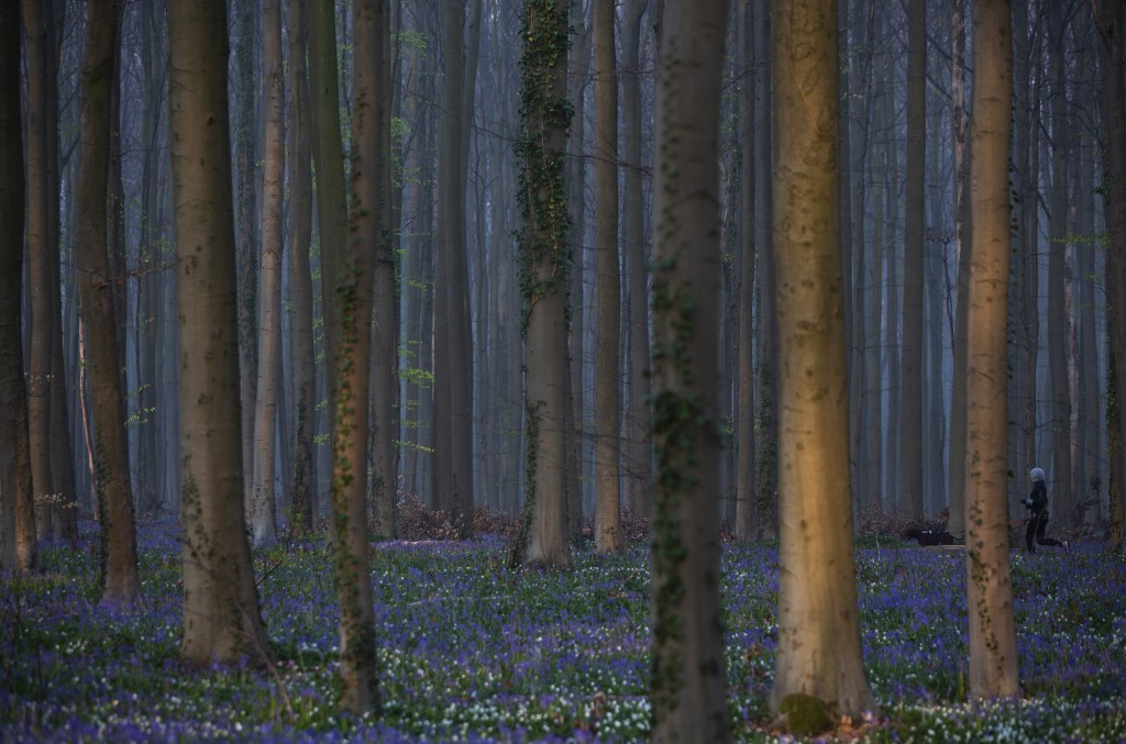 A jogger runs with a dog through a path lined with bluebells, also known as wild Hyacinth, in the Hallerbos in Halle, Belgium, Tuesday, April 20, 2021...