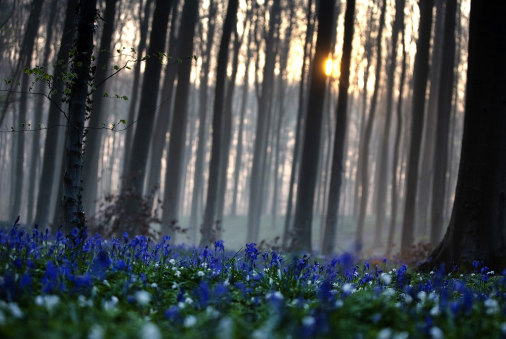 The sun rises between the trees as bluebells, also known as wild Hyacinth, bloom on the forest floor of the Hallerbos in Halle, Belgium, Tuesday, Apri...