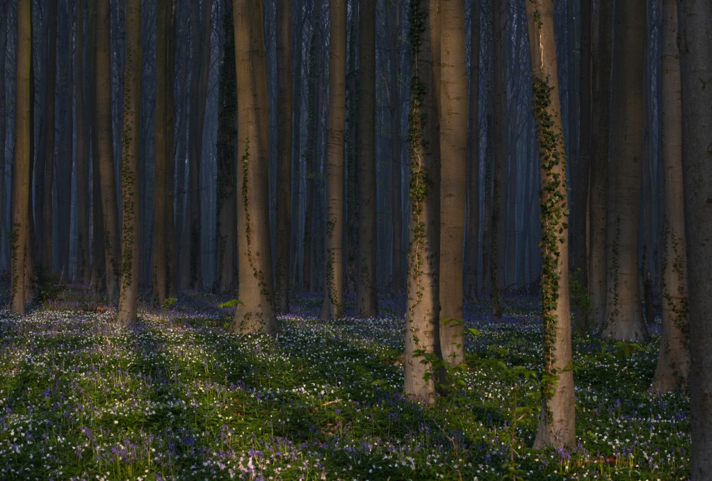 Trees cast a shadow on bluebells, also known as wild Hyacinth, as they bloom on the forest floor of the Hallerbos in Halle, Belgium, Tuesday, April 20...