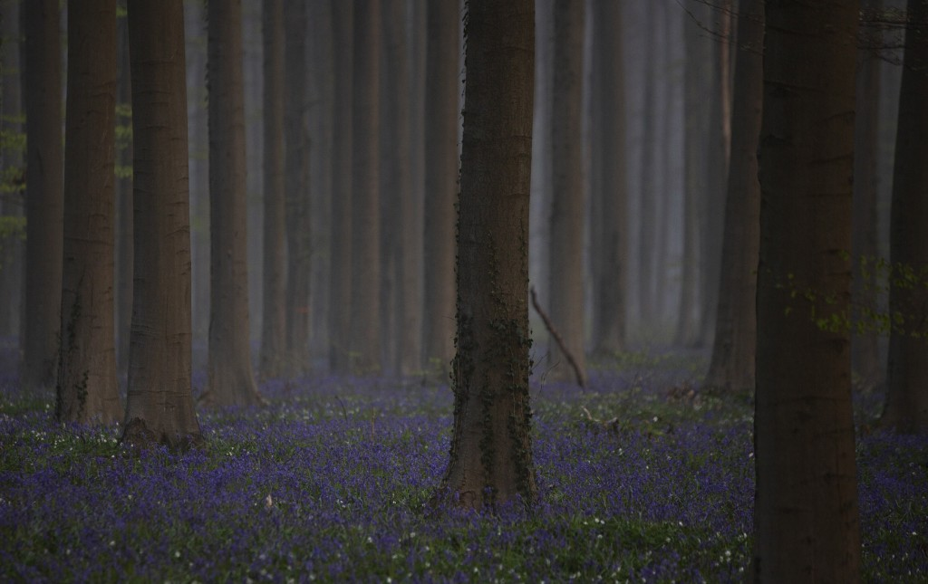 Morning fog begins to lift as bluebells, also known as wild Hyacinth, bloom on the forest floor of the Hallerbos in Halle, Belgium, Tuesday, April 20,...