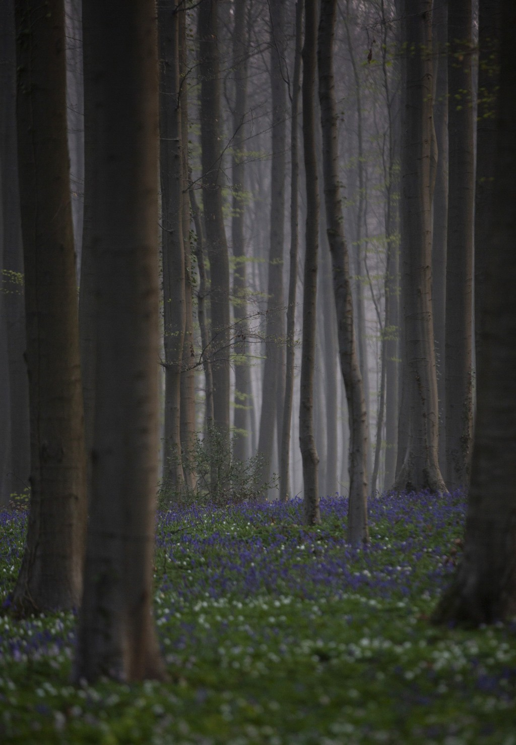 Morning mist begins to lift as bluebells, also known as wild Hyacinth, bloom on the forest floor of the Hallerbos in Halle, Belgium, Tuesday, April 20...
