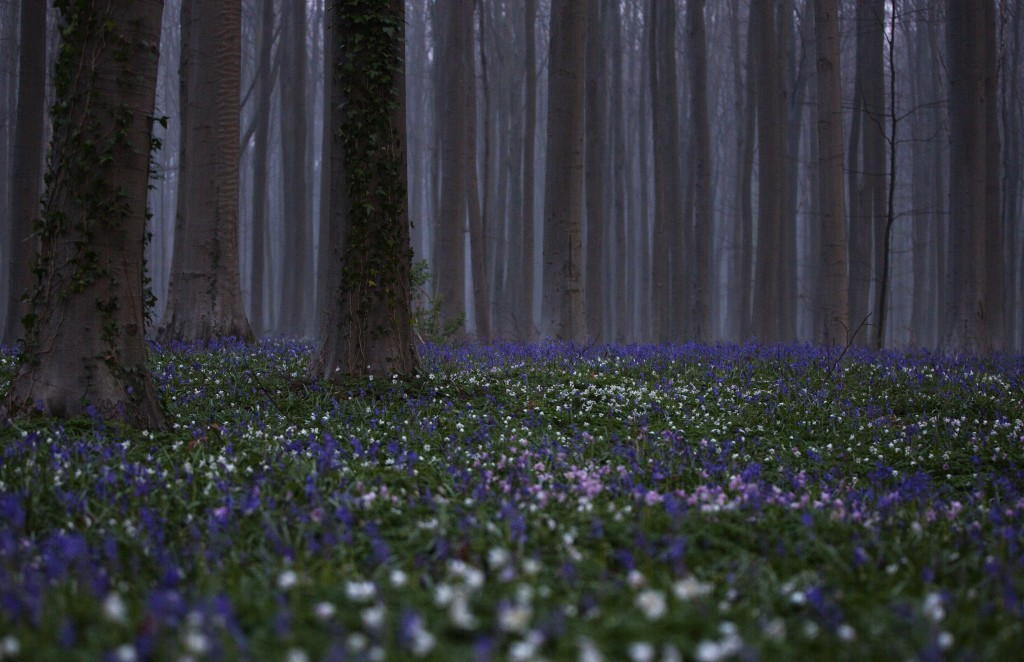 Bluebells, also known as wild Hyacinth, bloom on the forest floor of the Hallerbos in Halle, Belgium, Tuesday, April 20, 2021. There is no stopping fl...