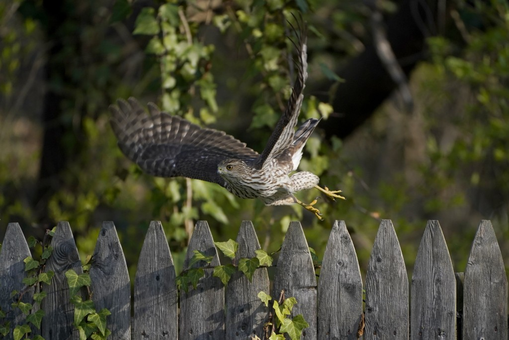 FILE - A Cooper's Hawk flies off a wooden fence in a yard in Lutherville-Timonium, Md. on April 5, 2021. The National Audubon Society has updated its ...
