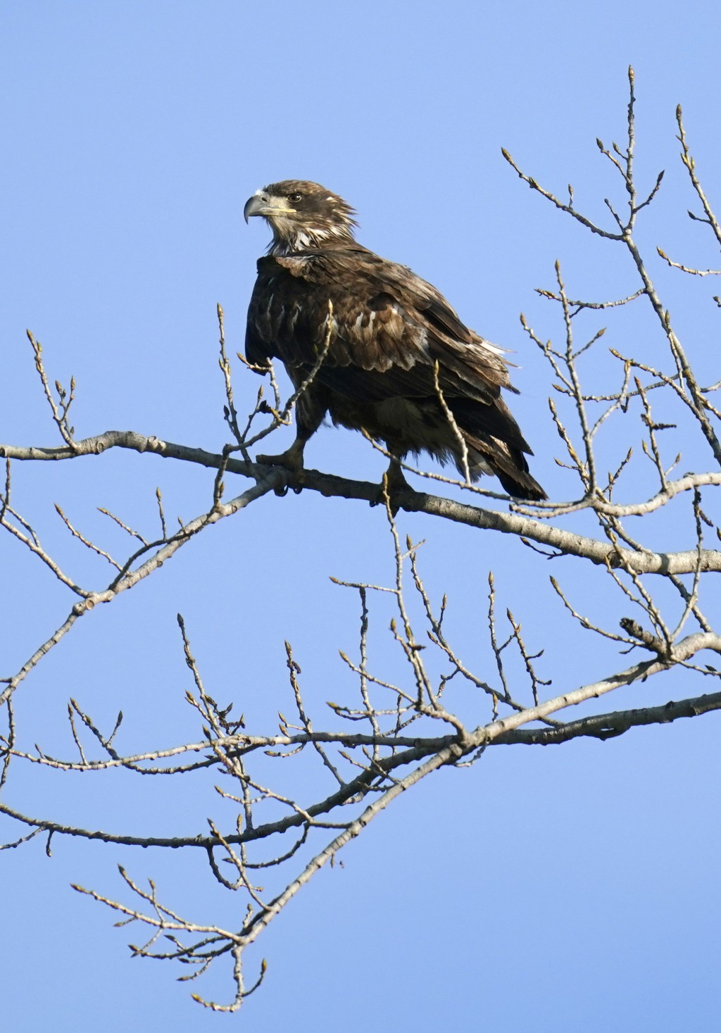 FILE - A juvenile bald eagle sits in a tree overlooking a pond at Water Works Park in Des Moines, Iowa on April 12, 2021. The National Audubon Society...