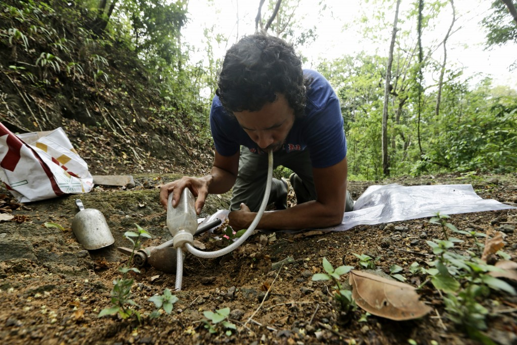 Dumas Galvez, a researcher of the Smithsonian Tropical Research Institute, collects ants from a nest in Paraiso, Panama, Tuesday, April 13, 2021. Befo...